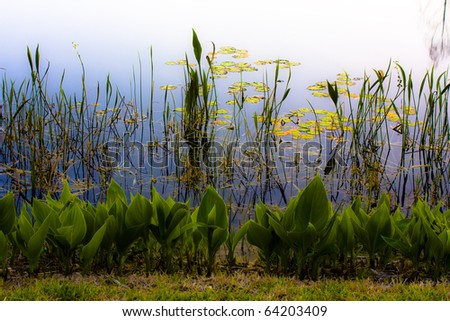 Lily-pads on pond with reeds