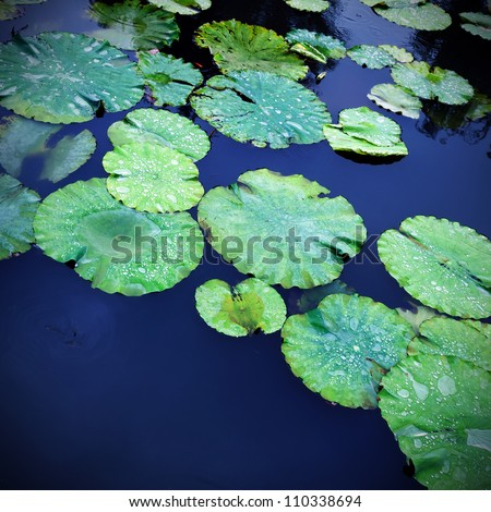 Lily pads on the surface of a pond.