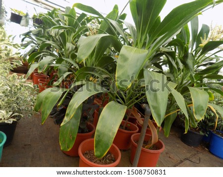 lily plant for indoor gardening , indoor house decorations and natural art