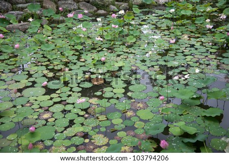 lily pond at the summer blooming season