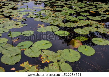 Lily ponds floating on pond with reflections of sky in the water #1532256791