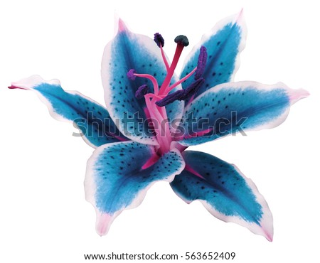 lily turquoise-white flower on a white background isolated  with clipping path. for design.Nature.
