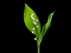 Lily valley flower isolated on black background. Beautiful single muguet flower with green leaves with clipping path, side view. Naturе object for design to women's day, mother's day