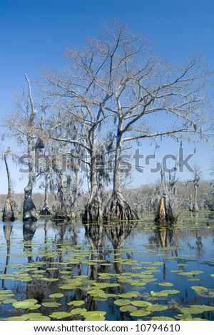 Lilypads and cypress trees in swamp