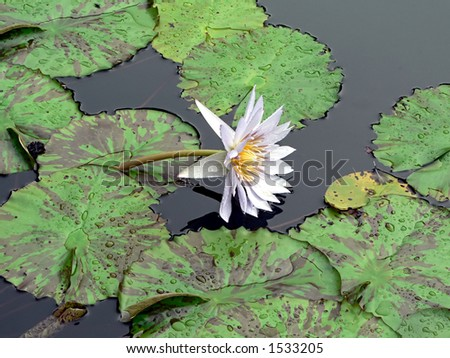 lilypads in a pond