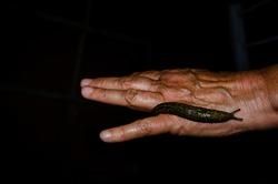 Limax maximus (literally, biggest slug) is a species of slug in the family Limacidae
