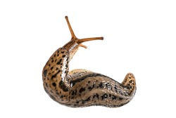 Limax maximus, literally, 'biggest slug', known by the common names great grey slug and leopard slug, in front of white background