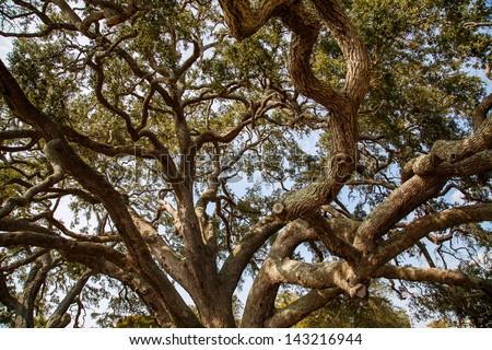 Limbs of an ancient live oak tree rising into the sky