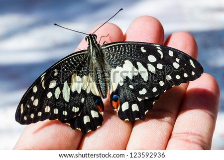 Lime butterfly on hand ( open wing )