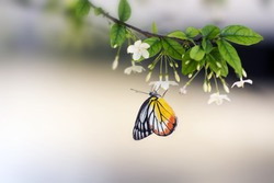 Lime butterfly ( Papillio Demaleus) on flower Mok tree with blur background. butterfly on white flower, collecting nectar from flower, A butterfly on flower pollens
