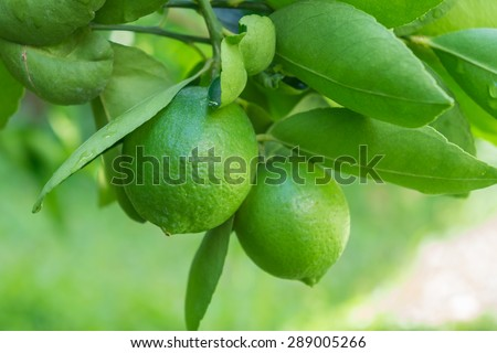 Lime fruit, Lime green tree hanging from the branches of it.