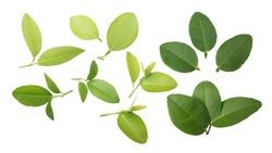 Lime leaves isolated.