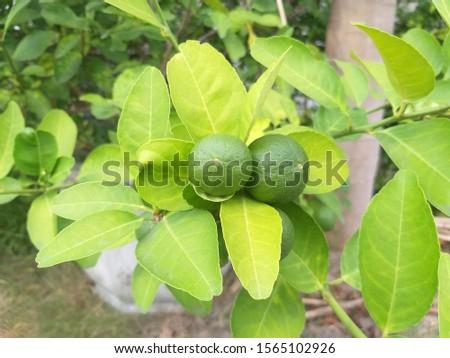 Limes produce a round appaerance.Sour taste.