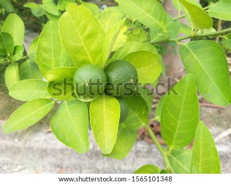 Limes produce a round green appearance.Sour taste.