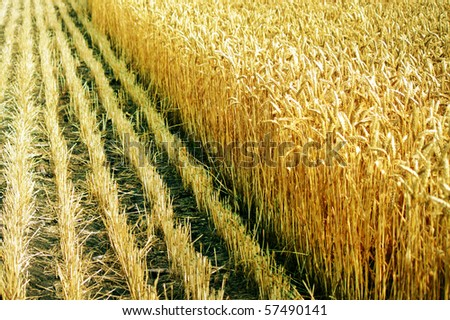 Limit on the field of wheat during the harvest