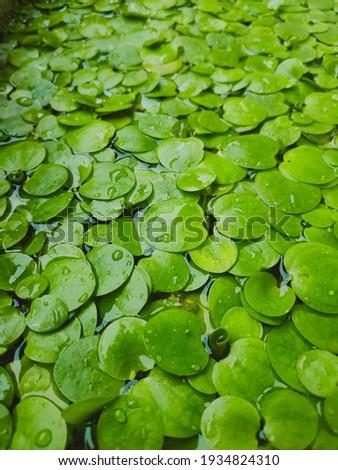 Limnobium laevigatum adalah tanaman air mengambang, dan merupakan anggota keluarga Hydrocharitaceae. Nama-nama umum termasuk spongeplant India Barat, spongeplant Amerika Selatan dan Amazon Stok fotoğraf ©