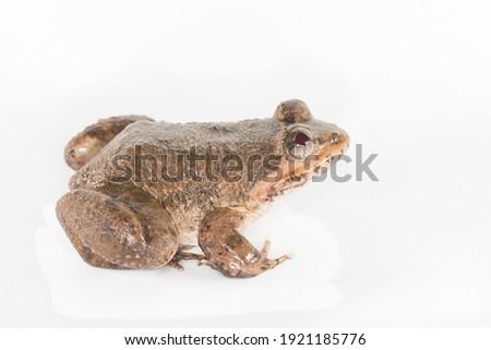 Limnonectes taylori  Dicroglossidae   Northwestern region of Thailand in the provinces of Chiang Mai, Mae Hong Son, Lampang, Nan, and Tak at elevations of 650-1650 m. Stok fotoğraf ©