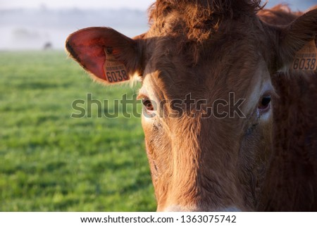 Limousin cattle: a close up of a Limousin cow #1363075742