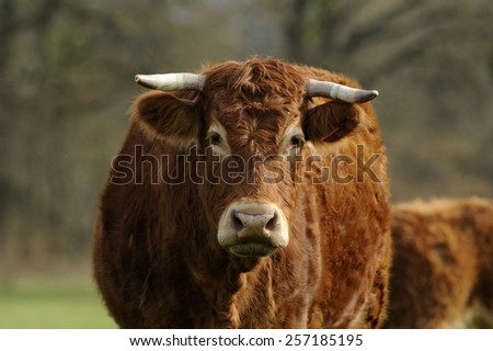 limousin cowf in a meadow #257185195