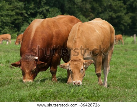 limousine bull with cow peaceful grazing together