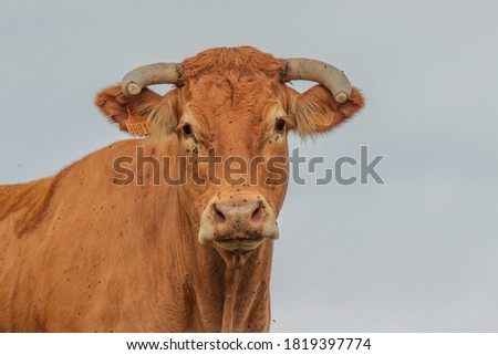 Limousine cow in France is on the lookout