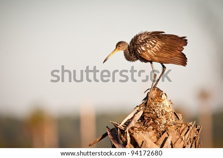 Limpkin (Aramus guarauna) at the Ritch Grissom Memorial Wetlands (often referred to as the Viera Wetlands) in Melbourne, Florida