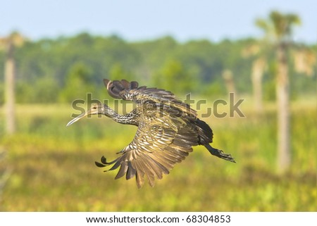 Limpkin in flight on floridian wetlands background. Latin name - Lonchura punctulata. Focus on eye.