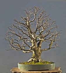 linden as bonsai in winter