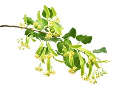 Linden flower branch beautiful isolated on white background. Flat lay, top view