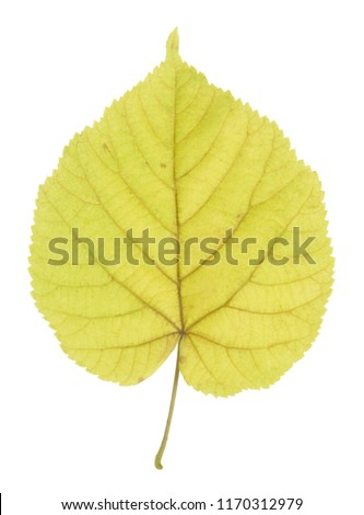 Linden leaf in autumn isolated on white background #1170312979