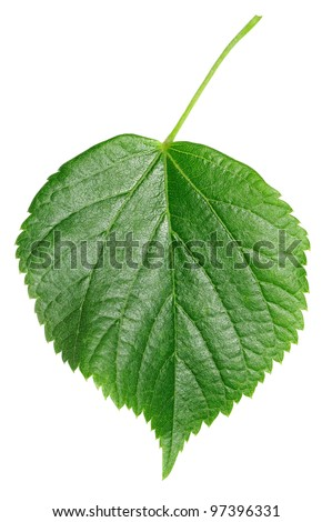 Linden leaf isolated on white - stock photo