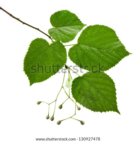 linden tree branch with water drops isolated on white background