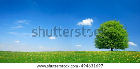 Linden Tree on Meadow full of Dandelion Flowers in Spring Landscape under Blue Sky with Clouds #494631697