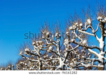 Linden trees hedge with snow against blue sky in winter.