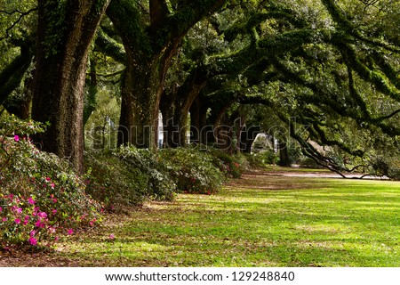 Line of ancient oak trees in park setting
