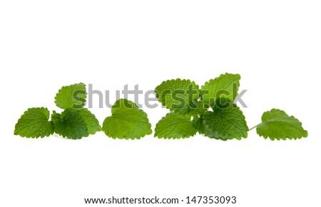 Line of isolated lemon balm leaves