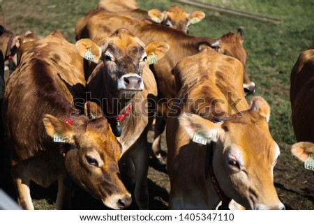 Line of Limousin beef cows in lush green countryside #1405347110