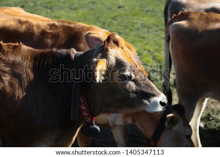 Line of Limousin beef cows in lush green countryside #1405347113