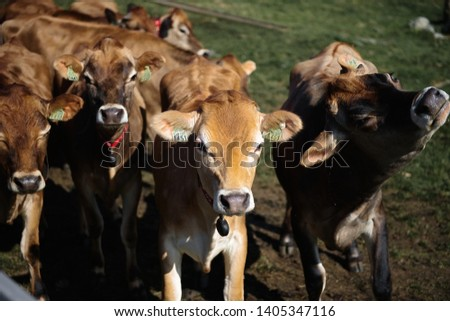 Line of Limousin beef cows in lush green countryside #1405347116