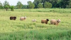Line of Sheep Walking Through Tall Grass