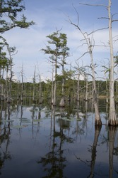 Line of trees growing within a Louisiana bayou