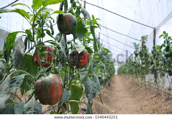 Stock photo of a line of red peppers planted inside a greenhouse. Lifestyle and health.