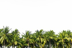 Line up of coconut tree isolated on white background