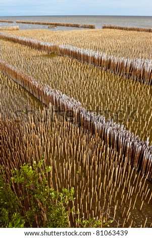 Lined of bamboo protector in Mangrove forest, Samutsakorn, Thailand