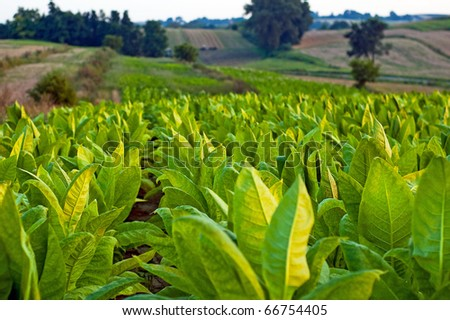 Lines of green tobacco plants on a field