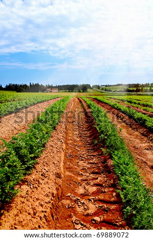 Lines of green vegetables in a farm field in PEI, CANADA