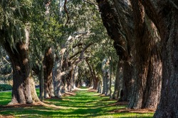 LInes of old oak trees around a lane of green grass