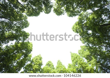 lines of tall green cedar tree from bottom view