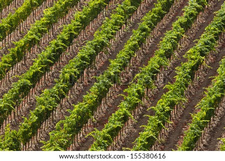 Lines of vineyards in the fall