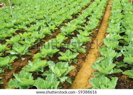 Lines of young lettuces in a farm field